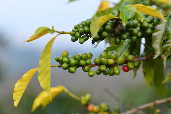Coffee Varieties Grown